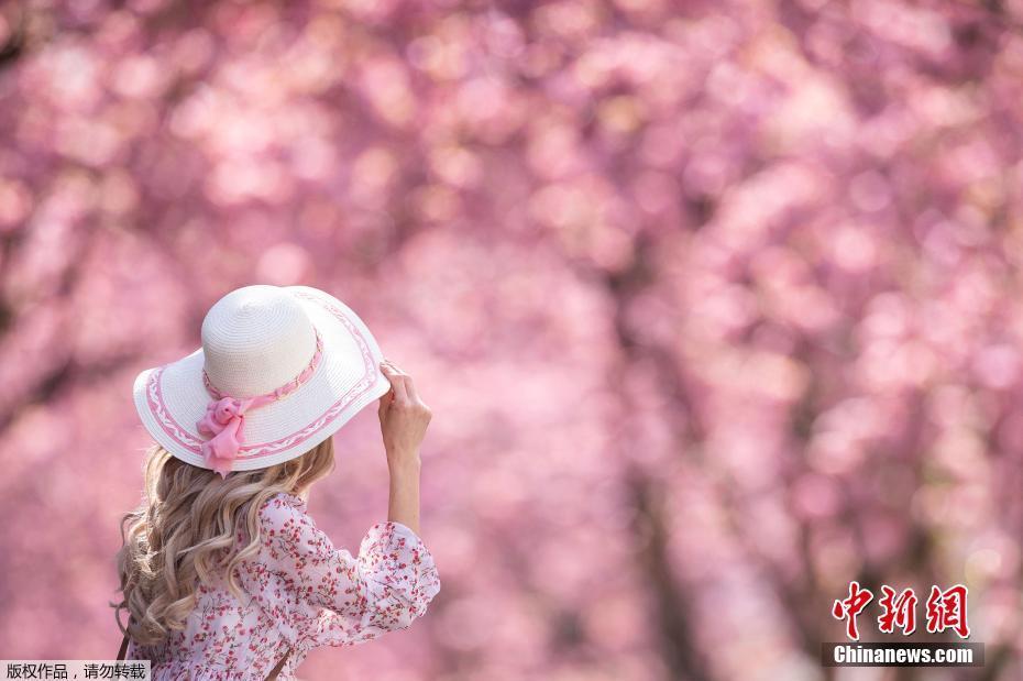 德國波恩櫻花盛開 繁花朵朵春意盎然
