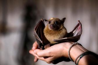 Researchers study samples from bats to dig into relatives of COVID-19 virus