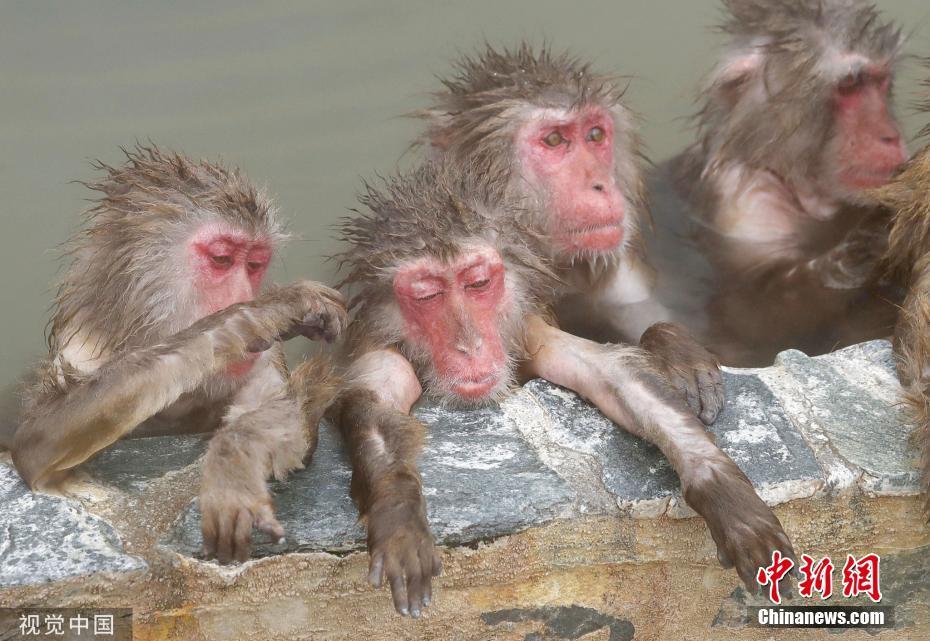 惬意又自在 日本北海道群猴池中泡澡