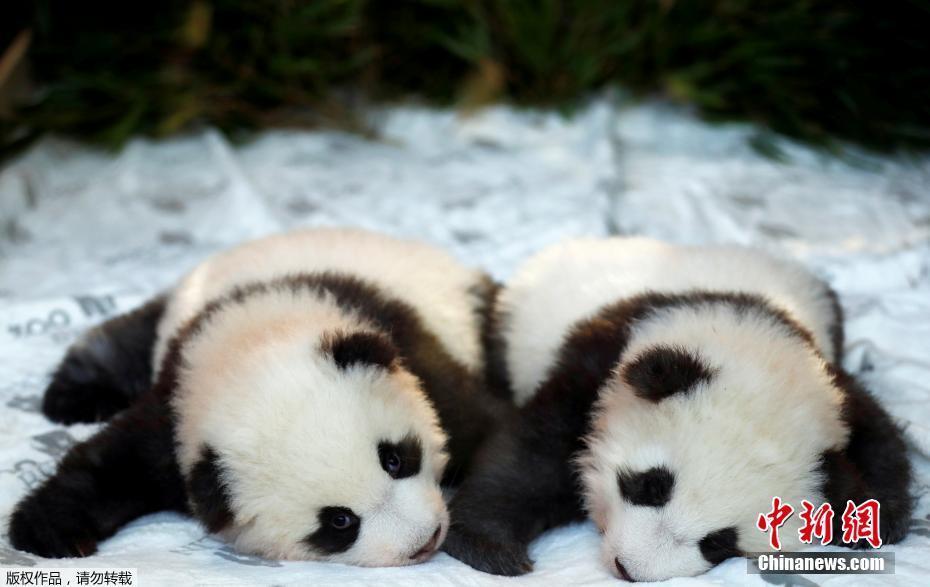 """柏林雙胞胎大熊貓""""百日 """"得名 儀式現場軟趴趴萌翻眾人"""