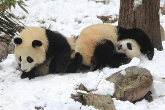 Audio-based AI used to detect giant panda's fertility, conception
