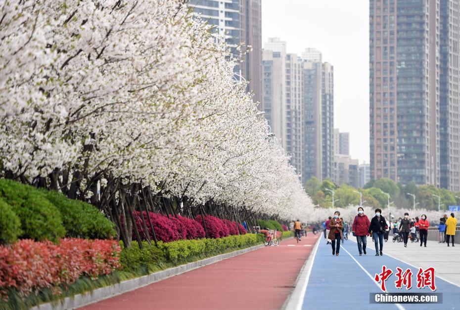 """杭州""""最美跑道""""樱花绽放  市民健身观景两不误"""