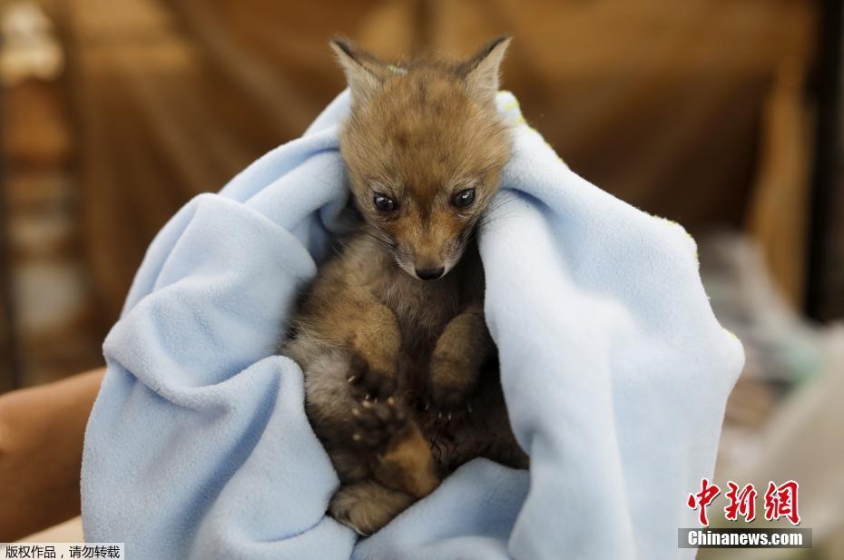 西班牙获救小狐狸被包裹毯子中 表情呆萌惹人疼