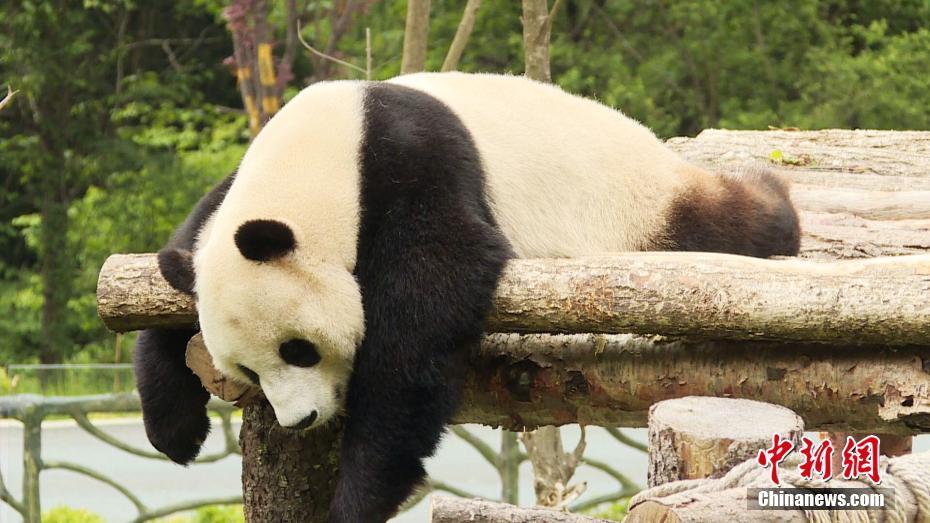 九寨沟熊猫园开园 四只大熊猫正式与公多见面