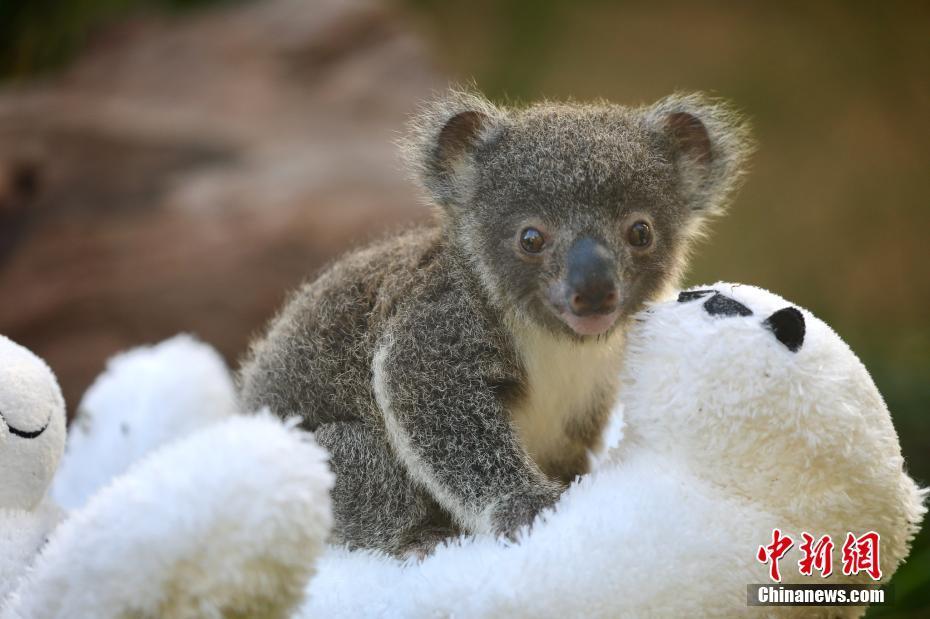 澳大利亚动物园迎来9只新生考拉 小家伙儿玩毛绒玩具萌萌哒