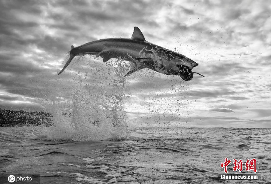 攝影師抓拍野生動物藝術大片 大白鯊躍出水面捕食