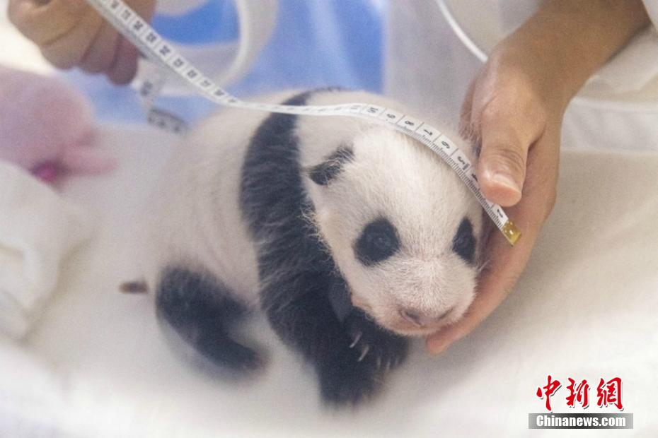 旅韩大熊猫宝宝长出黑眼圈 体重胖了10倍