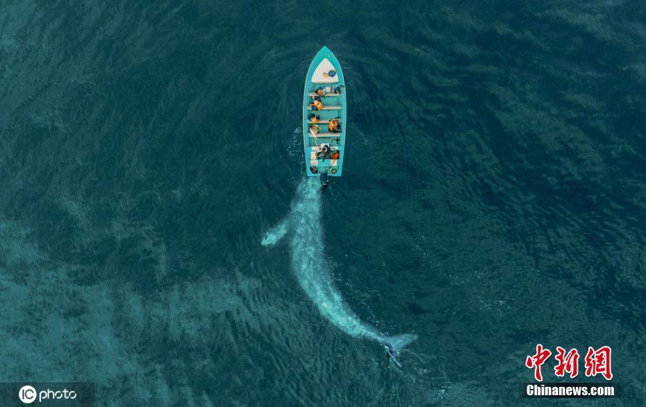 """墨西哥灰鯨邂逅游客 熱情友好上前""""幫忙""""推船"""