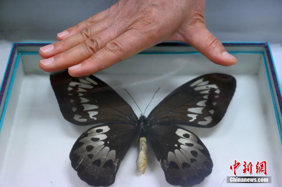 """山西昆蟲收藏家珍藏世界最大蝴蝶標本""""鳥翼鳳蝶"""""""