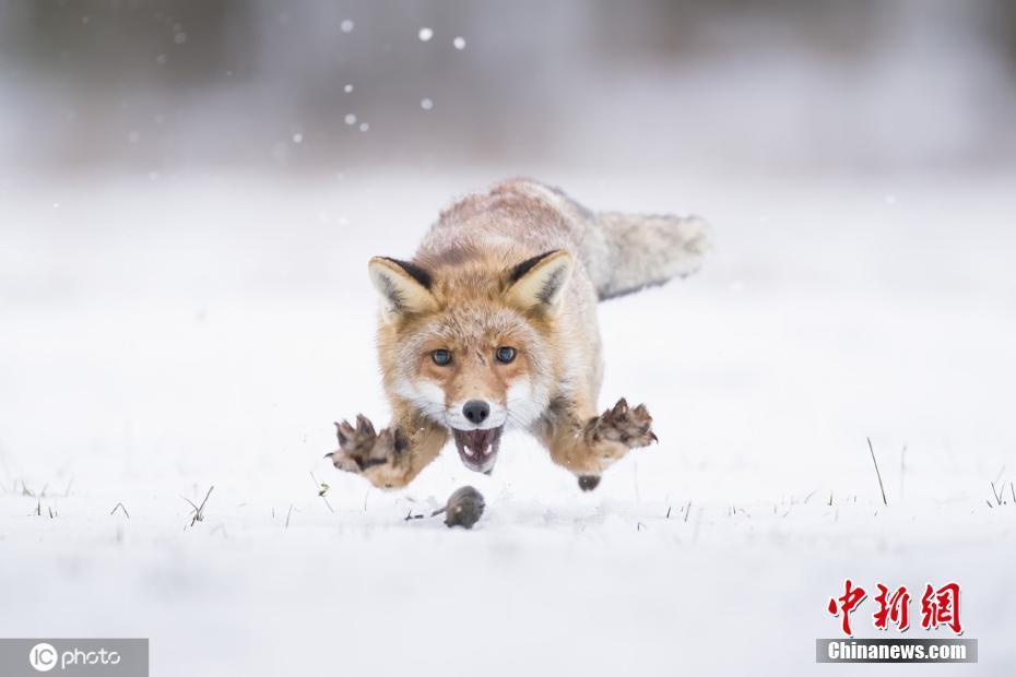 撒欢卖萌耍宝! 冰天雪地里的小动物太逗了