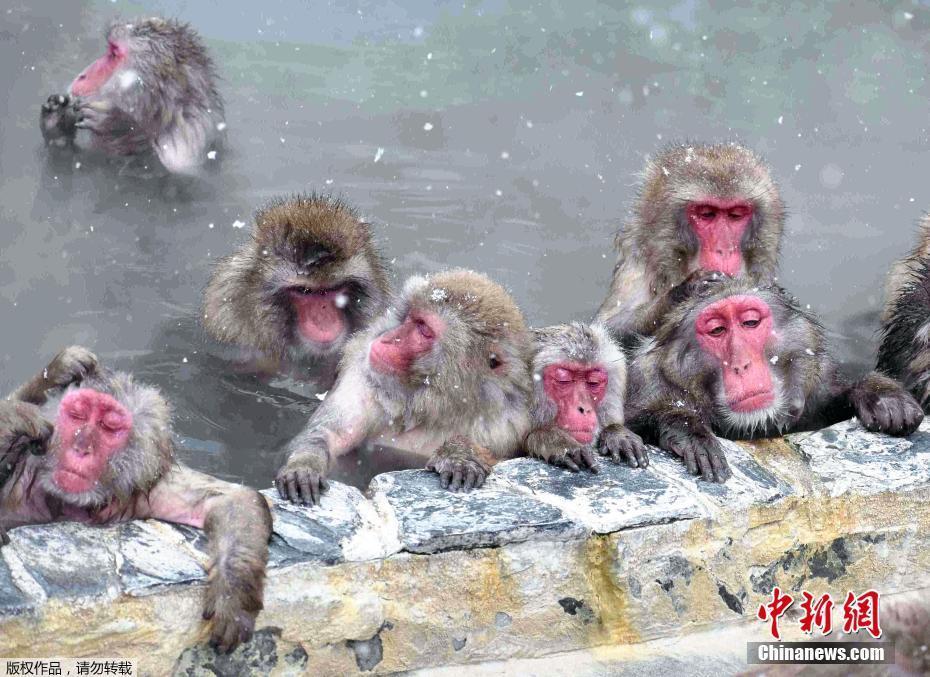 """寒冬至 日本温泉""""泡澡猴""""惬意十足"""