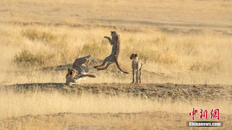 猎豹幼崽嬉戏打闹 遭母亲踢飞抛向空中犹如拍摄功夫大片