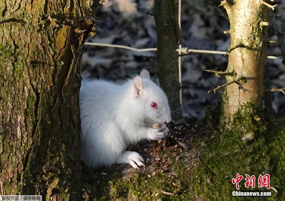 英国公园现罕见白化小松鼠 全身雪白觅食模样超萌