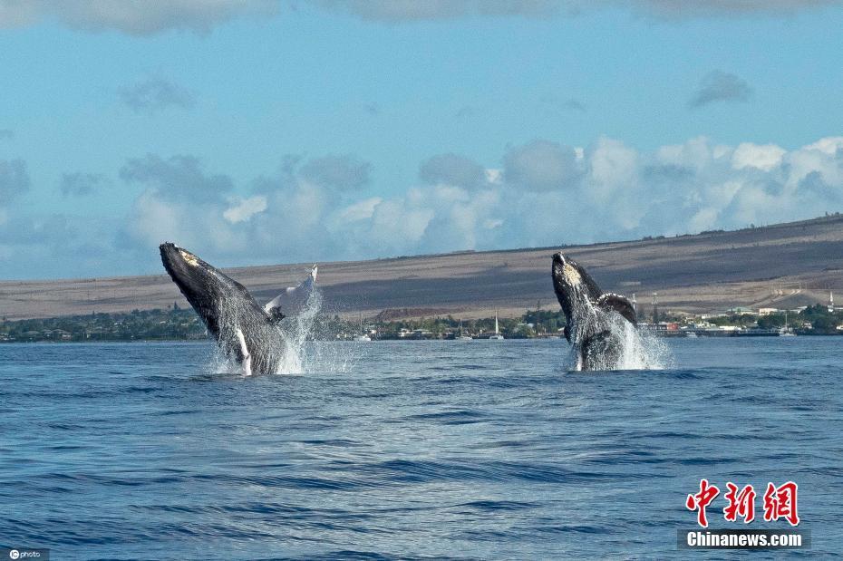 兩頭鯨魚同時躍出水面 上演罕見同步畫面