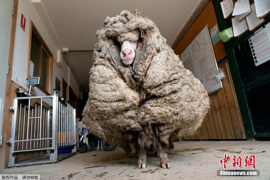 """澳大利亚绵羊长成一团""""棉被"""" 至少五年没剪毛"""