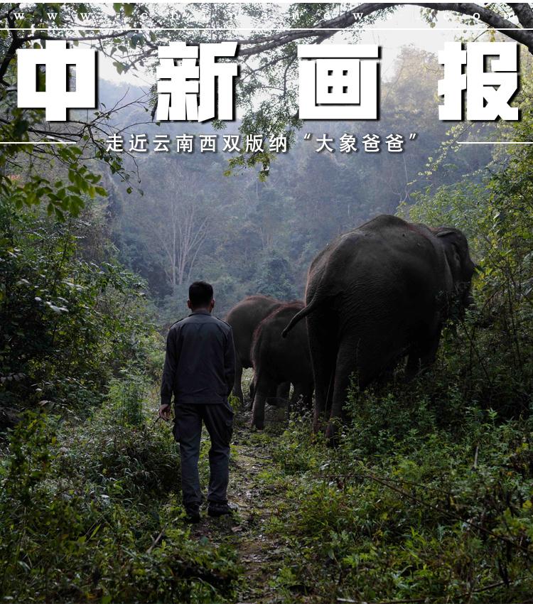 """【图片故事】走近云南西双版纳""""大象爸爸"""""""
