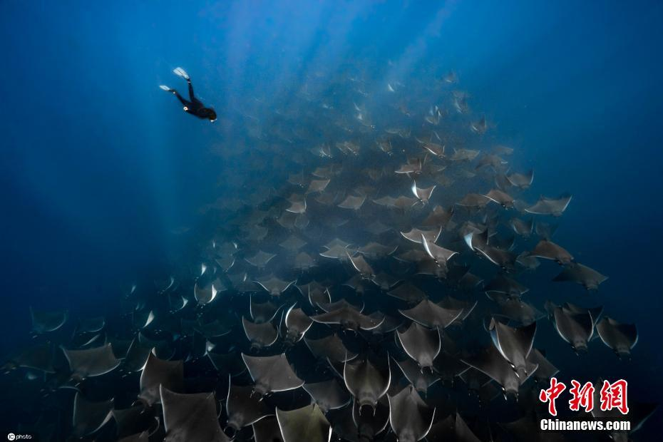 潜水员与数千条蝠鲼同游 浩浩荡荡画面太震撼