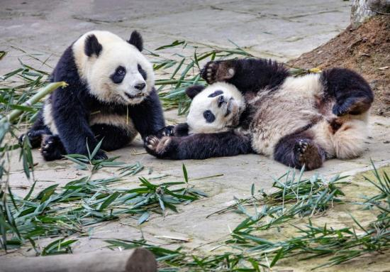 Study details panda subspecies' evolution