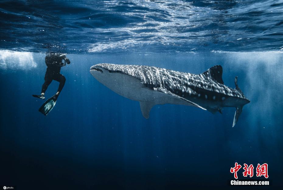 太幸运了!英国男子与鲸鲨近距离接触同游
