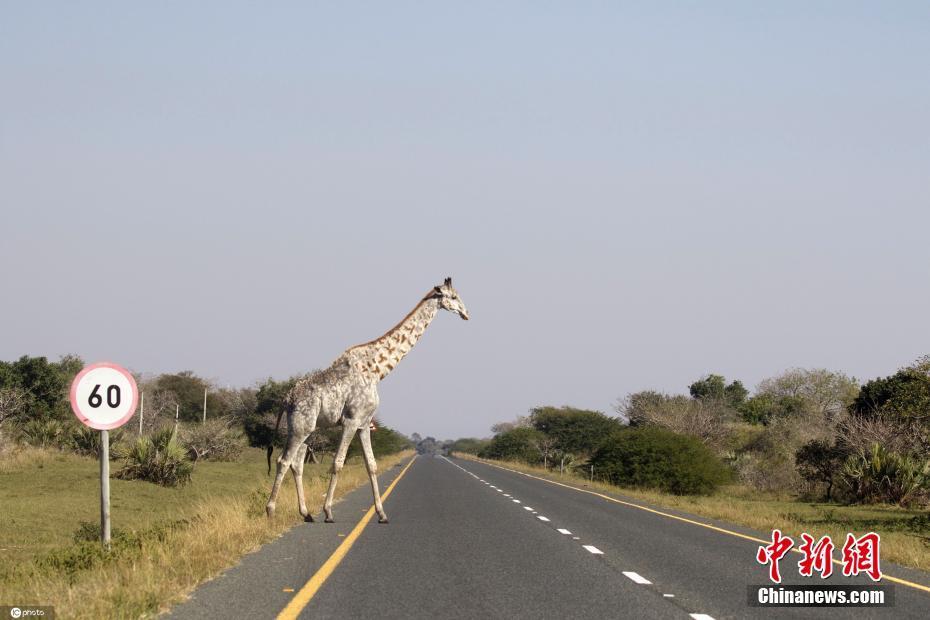 南非摄影师拍到白色长颈鹿 极其稀有世界上仅存几只