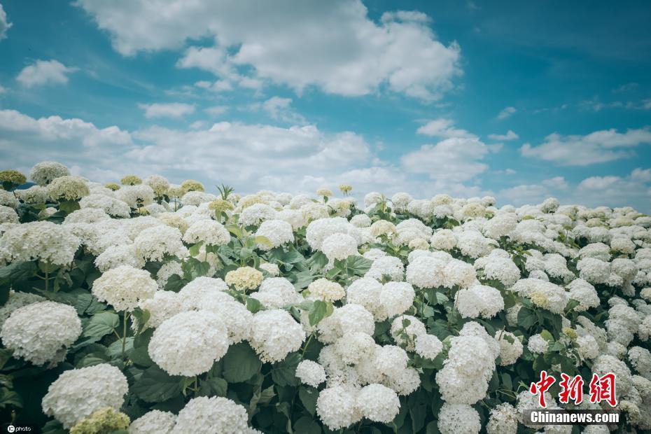 云南宜良南国山花绣球初夏盛开 朵朵绽放景色迷人