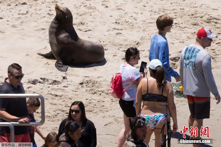 美国加州旅游业复苏 海狮与游客共享阳光沙滩