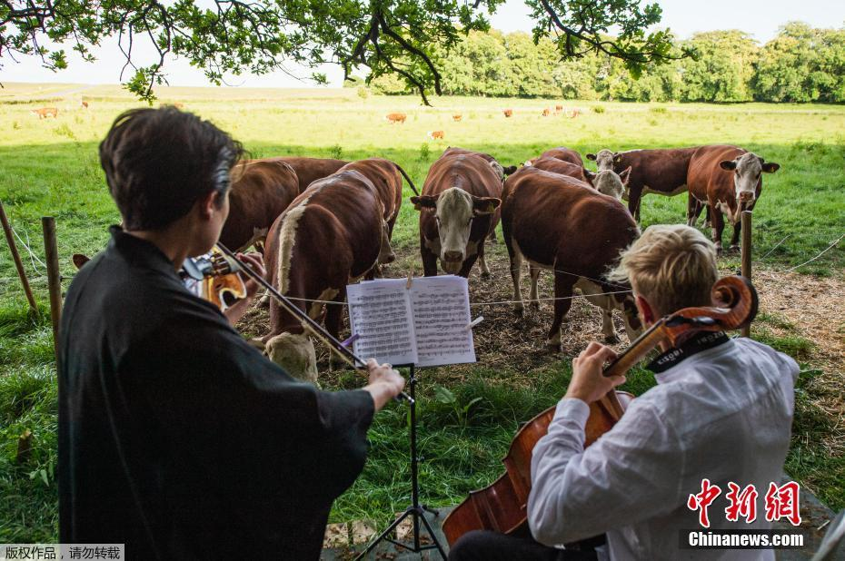 疫情期间无法演出 丹麦一位音乐学校校长为牛演奏