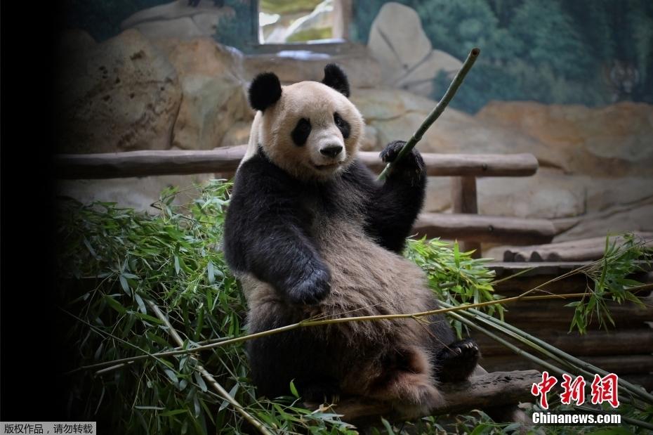 """旅法大熊猫将诞下双胞胎 动物园做好""""接生""""准备"""