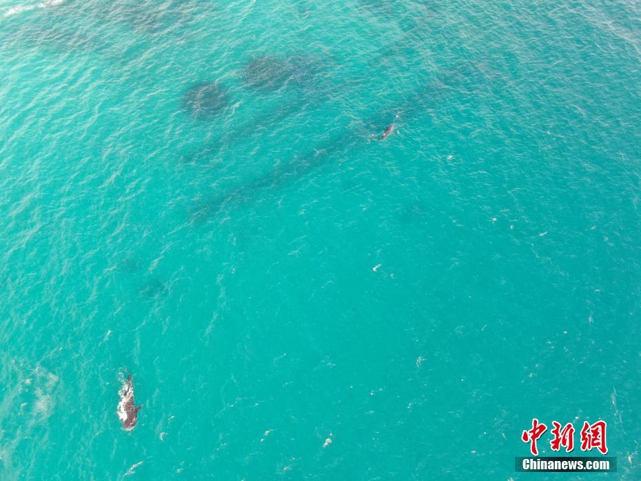 海南分界洲岛海域四条鲸鲨现身觅食