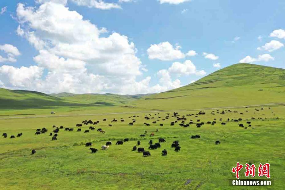 甘肃岷县近百万亩湿地草原牛羊成群马儿跑