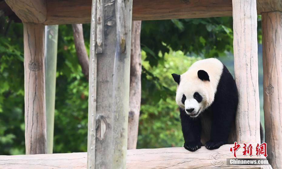 大熊猫卖萌憨态可掬