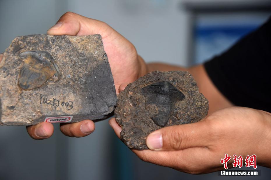 中国首次发现2.9亿年前瓣齿鲨:跨洋迁徙的顶级捕食者