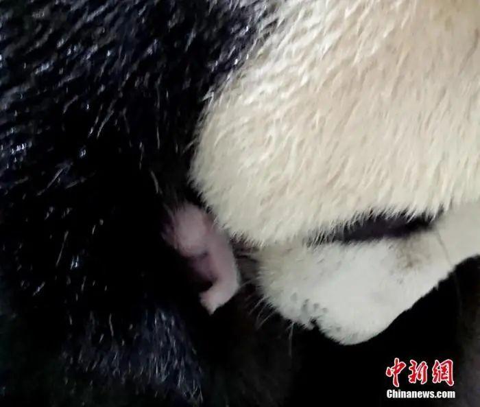 """赠台大熊猫有了二孩 现在又开始操心老大的""""相亲"""""""