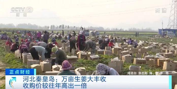 河北秦皇岛:万亩生姜大丰收