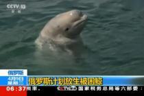 俄罗斯计划放生被困鲸