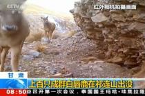 成群白唇鹿在祁连山出沒