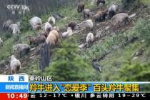 百头羚牛聚集秦岭山区