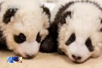 大熊猫宝宝犯困打嗝 小眼神萌化