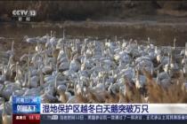 湿地保护区越冬白天鹅突破万只