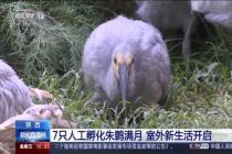 7只人工孵化朱鹮满月 室外新生活开启