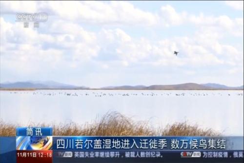 四川若尔盖湿地进入迁徙季 数万候鸟集结