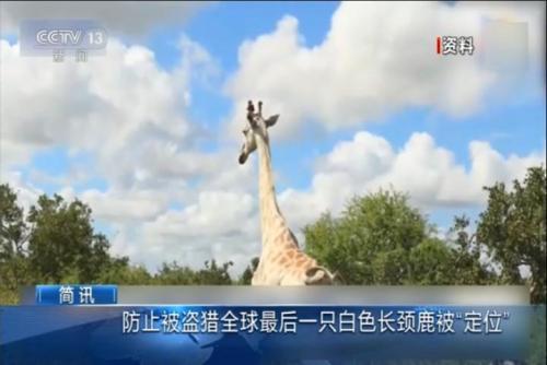 """全球最后一只白色长颈鹿被""""定位"""""""