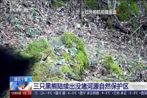 三只黑熊陆续出没堵河源自然保护区