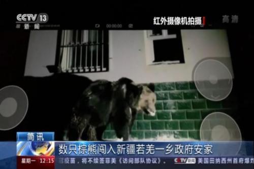数只棕熊闯入新疆若羌一乡政府安家