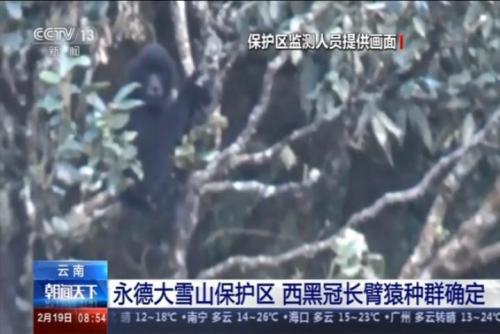 西黑冠长臂猿种群确定