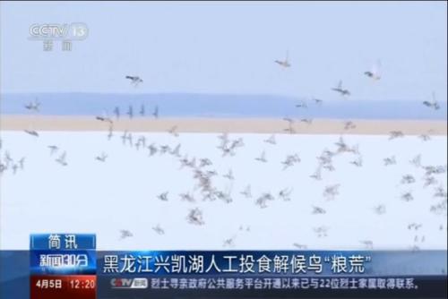 """黑龙江兴凯湖人工投食解候鸟""""粮荒"""""""