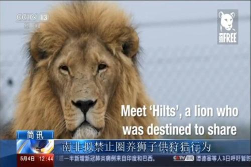 南非禁止圈养狮子供狩猎行为