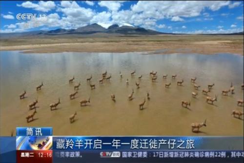 藏羚羊开启一年一度迁徙产仔之旅