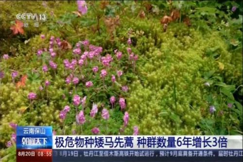 矮马先蒿种群数量6年增长3倍