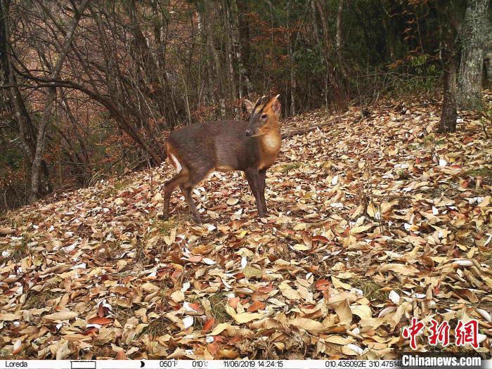 林中漫步的小麂 红外相机拍摄 摄